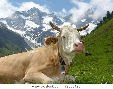 cow lying in the high mountains