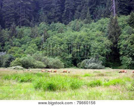 Roosevelt Elk In Redwood Park