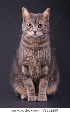 Blue tabby cat sitting against dark gray background,  looking attentively at the viewer