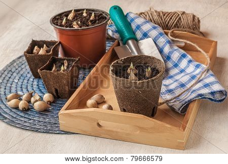 Spring Still Life With  Peat Pots And Bulbs