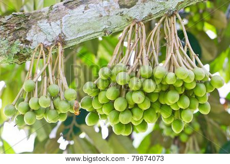 Small Durian Fruit Bunch On Tree.