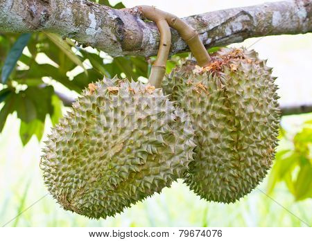 Raw Durian Fruit On Tree Stalk.