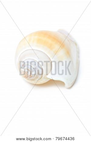Conch Shell Isolated On White.