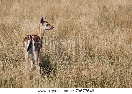 Young fallow deer in nature