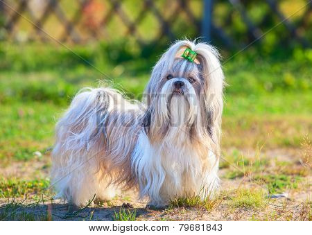 Shih-tzu dog standing outdoors at countryside. Green grass on background.