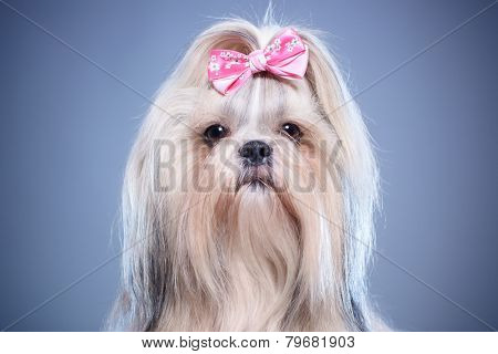 Shih-tzu dog with pink bow portrait on blue background.