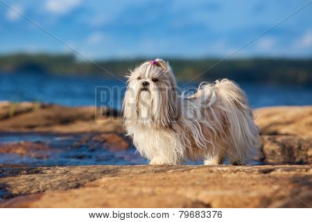 Shih-tzu dog standing on lake shore.