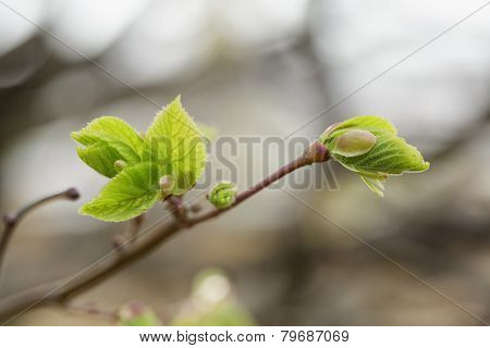 First Leaves And Buds On Linden Tree
