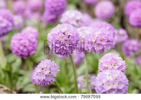 Spheric Primula In Bloom