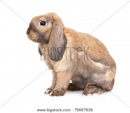 Dwarf lop-eared rabbit breeds Ram.