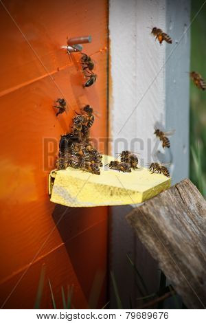 Portrait Of Working Bees