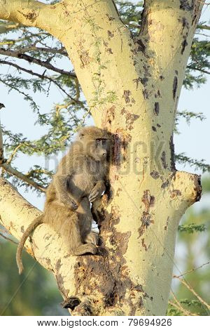 Young Olive Baboon On A Tree