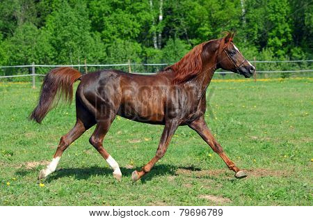 Arabian horse skips on a meadow against woods