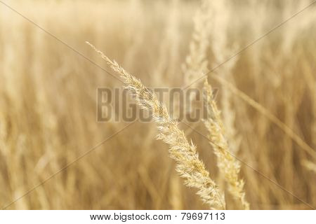 Background With Dry Yellow Grass