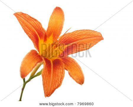 Orange Lily, Lilium