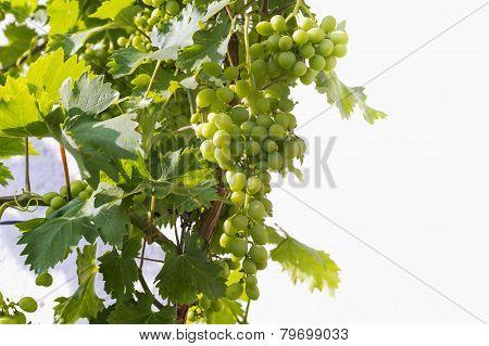 Green Unripe Grape Vines On A Sunny Day