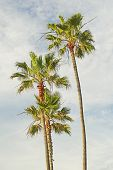 pic of sm  - Three California Palm Trees on a summer afternoon - JPG