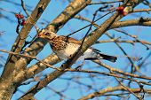 picture of rowan berry  - Fieldfare Turdus pilaris is sitting on a branch of a tree and eating Rowan berries on a clear winter day - JPG