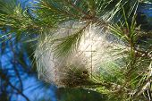 pic of moth larva  - Nest of pine processionary moth with caterpillars on a pine branch - JPG