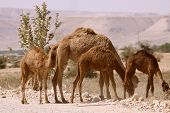 picture of jericho  - Camels on the side of the road driving into Jericho - JPG