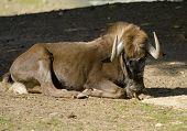 stock photo of wildebeest  - Black wildebeest latin name Connochaetes gnou laying - JPG