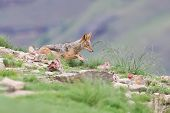stock photo of jackal  - Shy black backed jackal scavenging for food on the side of a mountain