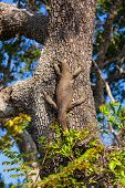 foto of goanna  - Varanus komodoensis sitting on a large tree in the Yala National Park Sri Lanka - JPG