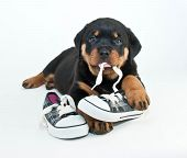 picture of puppy dog face  - Silly Rottweiler puppy chewing on a pair of new shoes making a silly face on a white background - JPG