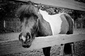 stock photo of split rail fence  - Horse looking over a split rail fence - JPG