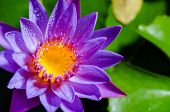 picture of purity  - Colorful yellow carpel and water drops on purple lotus flower - JPG