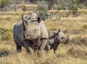 picture of rhino  - Black Rhino and 6 month old calf i9n the Eastern Cape - JPG