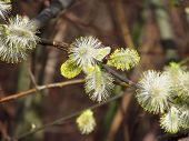 picture of pussy-willows  - a twig with blooming shaggy pussy willows - JPG