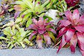 pic of bromeliad  - Neoregelia Bromeliad plant in garden flower nature - JPG