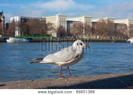 Gull Sitting On The Embankment Of River Thames