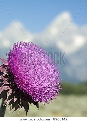 Thistle and Tetons, Wyoming