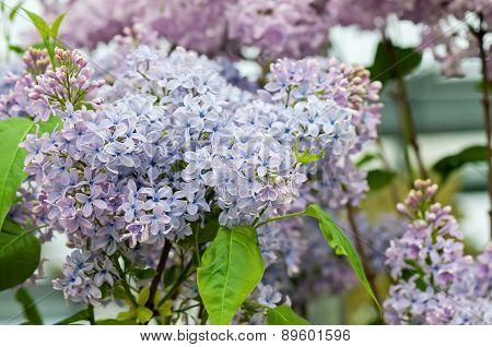 Macro shot of lilac flowers