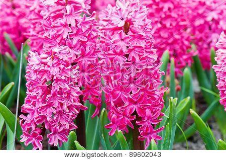 Macro shot of vibrant pink hyacinth