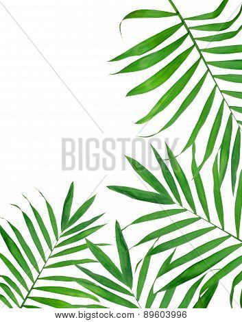 Green Leavas Of Fern Over White Background