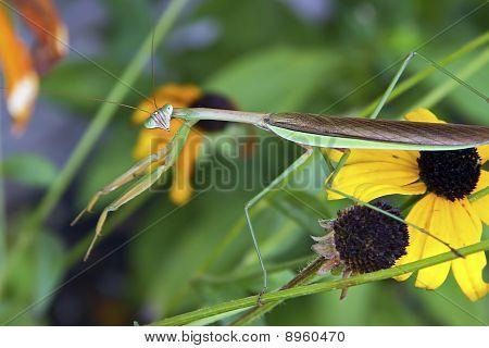 Praying Mantis on Yellow Flowers
