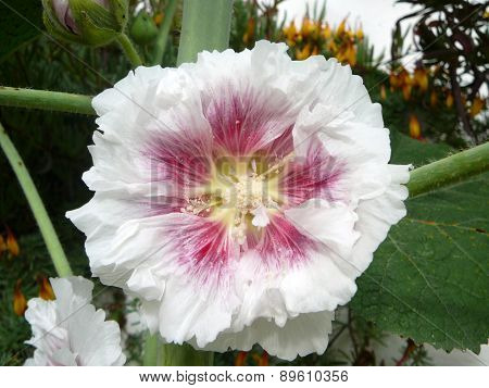 White And Pink Alcea Hollyhock Flower