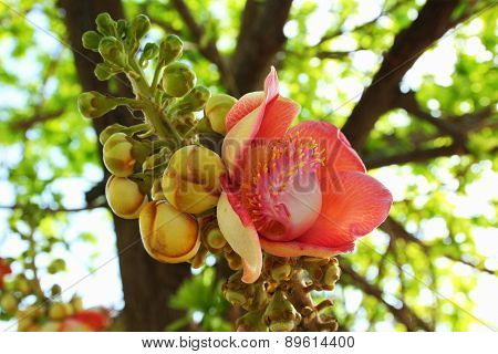 Couroupita guianensis flower or Cannonball tree