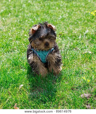 Puppy Yorkshire terrier in clothes on grass