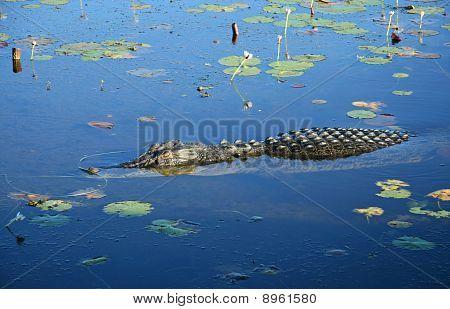 Saltwater Crocodile, Australia