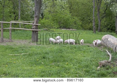 Piglets Walking And Playing On Grass