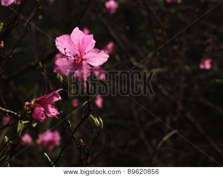 flowers of rhododendron in spring the forest