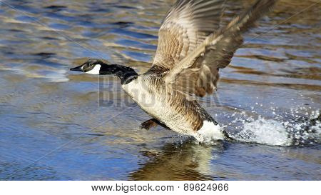 The Canada Goose taking to flight from beautiful blue waters