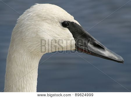Profile of the Trumpeter Swan with its distinctive black beak