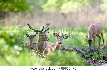 Red Deer In Forest In Spring