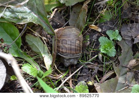 Snail Woke Up In The Spring After The Winter