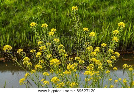 Yellow Blooming Field Mustard At The Banks  Of A Ditch